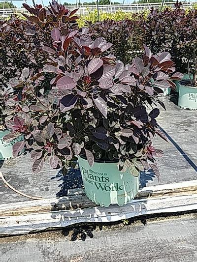 Cotinus cogg. 'Velveteeny' - 3 Gal. Crop Shot for 2020-27