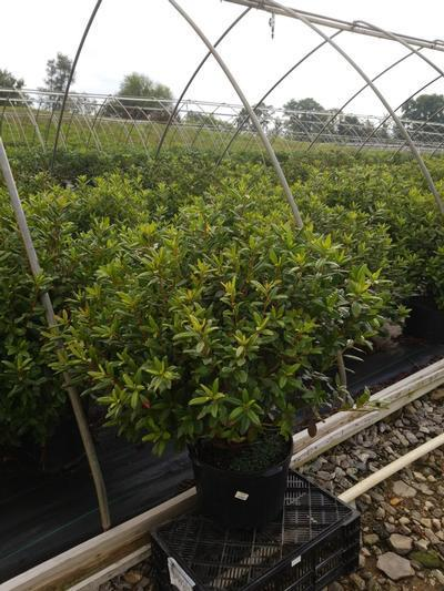 Rhododendron 'Landmark' - 5 Gal. Crop Shot for 2020-31
