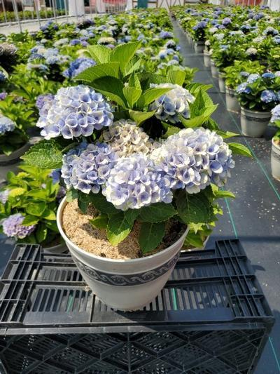 Hydrangea mac. EVERLASTING® Revolution - 2 Gal. Crop Shot for 2020-28