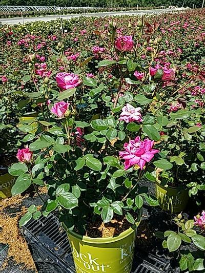 Rosa 'Double Pink Knockout' - 2 Gal. Crop Shot for 2020-24