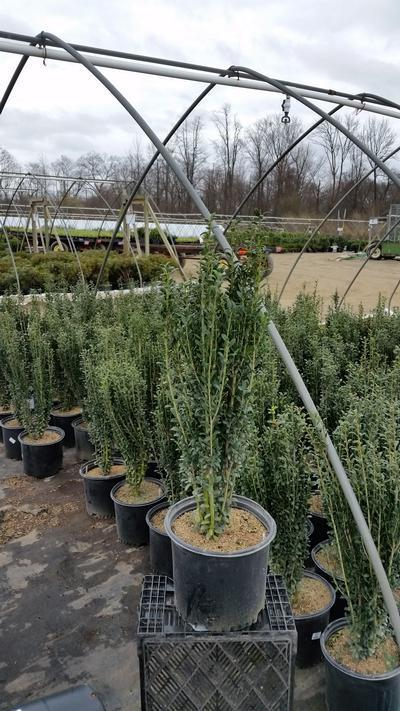 Ilex crenata 'Sky Pencil' - 3 Gal. Crop Shot for 2019-16