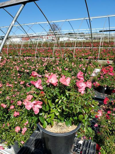 Rosa FLOWER CARPET® 'Coral' - 2 Gal. Crop Shot for 2020-40