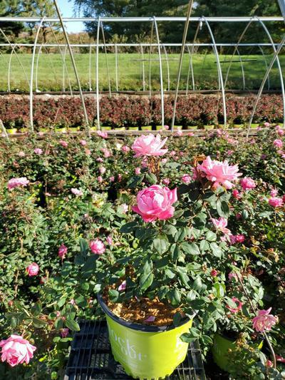 Rosa 'Double Pink Knockout' - 3 Gal. Crop Shot for 2020-41