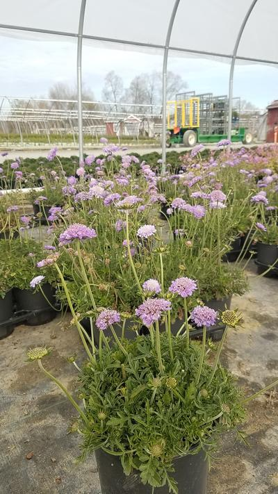 Scabiosa caucasica 'Butterfly Blue' - 1 Gal. Crop Shot for 2020-18