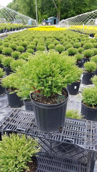 Thuja occidentalis 'Mr. Bowling Ball' - 2 Gal. Crop Shot for 2019-23