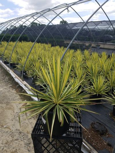 Yucca filamentosa 'Color Guard' - 3 Gal. Crop Shot for 2020-28