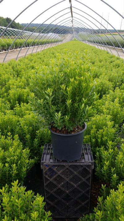 Ilex glabra 'Shamrock' - 3 Gal. Crop Shot for 2020-33