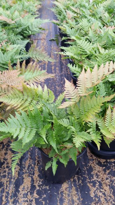 Dryopteris erythrosora 'Brilliance' - 1 Gal. Crop Shot for 2019-35