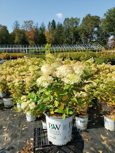 Hydrangea paniculata 'Little Lime®' - 2 Gal. Crop Shot for 2020-38