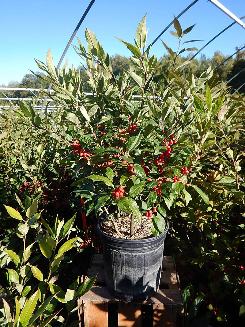 Ilex verticillata 'Winter Red' - #2 Crop Shot for 2017-40