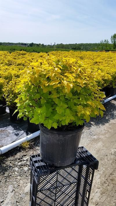 Physocarpus opulifolius 'Gumdrop Lemon Candy' - 3 Gal. Crop Shot for 2019-20