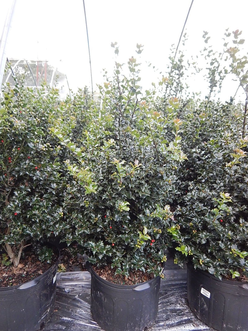 Ilex X rutzan 'Red Beauty' - #5 Crop Shot for 2017-39