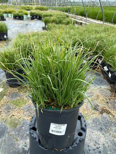 Carex morowii 'Silver Sceptre' - 1 Gal. Crop Shot for 2020-21
