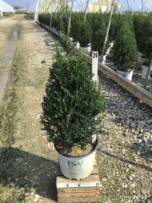 Ilex crenata 'Patti O' - 3 Gal. Crop Shot for 2020-35