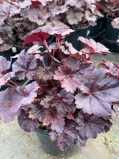 Heuchera villosa 'Black Sea' - 1 Gal. Crop Shot for 2020-16