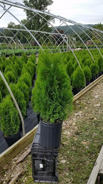 Thuja occidentalis 'Smargd' - 2 Gal. Crop Shot for 2019-37