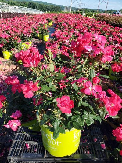 Rosa Knockout - 3 Gal. Crop Shot for 2020-25
