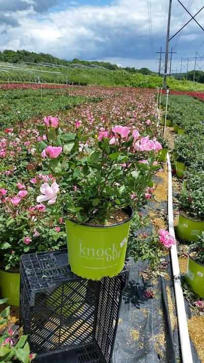 Rosa 'Double Pink Knockout' - 3 Gal. Crop Shot for 2019-23