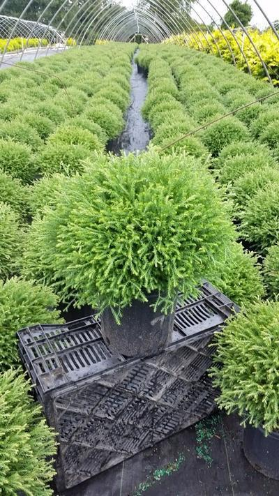 Thuja occidentalis 'Mr. Bowling Ball' - 2 Gal. Crop Shot for 2019-36