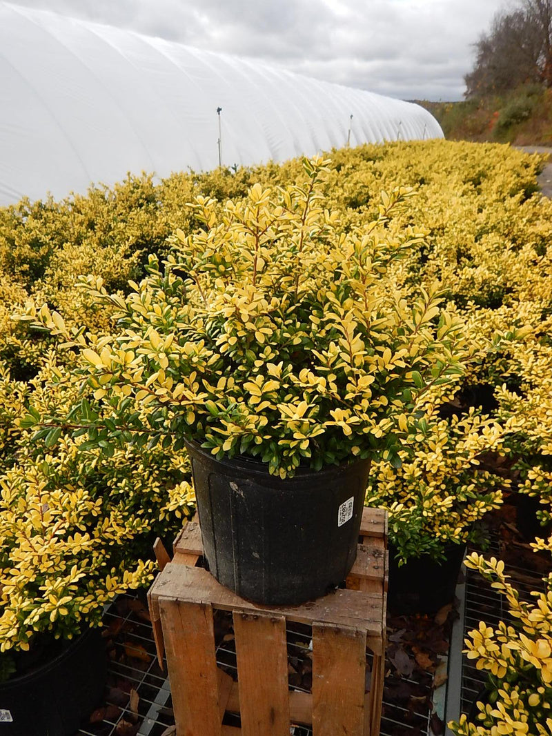 Ilex crenata 'Drops Of Gold' - #3 Crop Shot for 2017-44