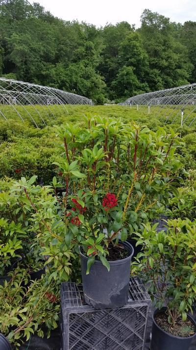 Kalmia latifolia 'Raspberry Glow' - 3 Gal. Crop Shot for 2019-22