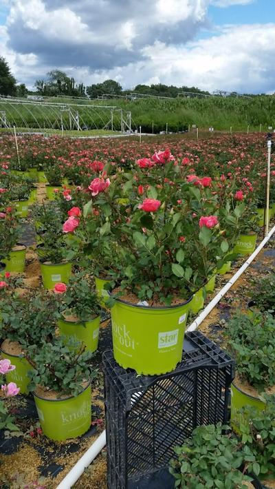 Rosa Coral Knock Out® - 3 Gal. Crop Shot for 2019-23