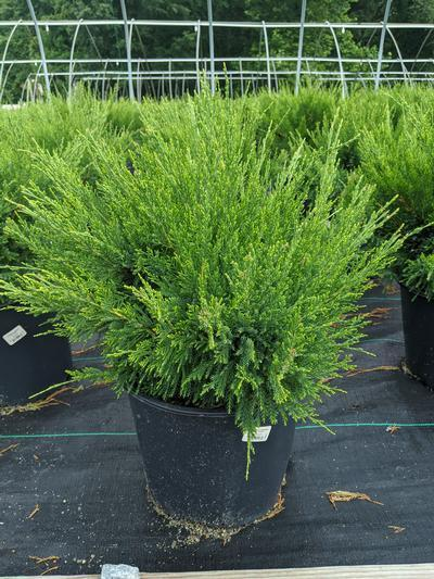Juniperus chinensis 'Sea Green' - 3 Gal. Crop Shot for 2020-30