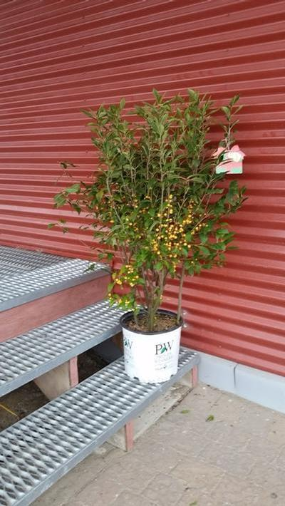Ilex verticillata 'Berry Heavy' - 3 Gal. Crop Shot for 2019-42