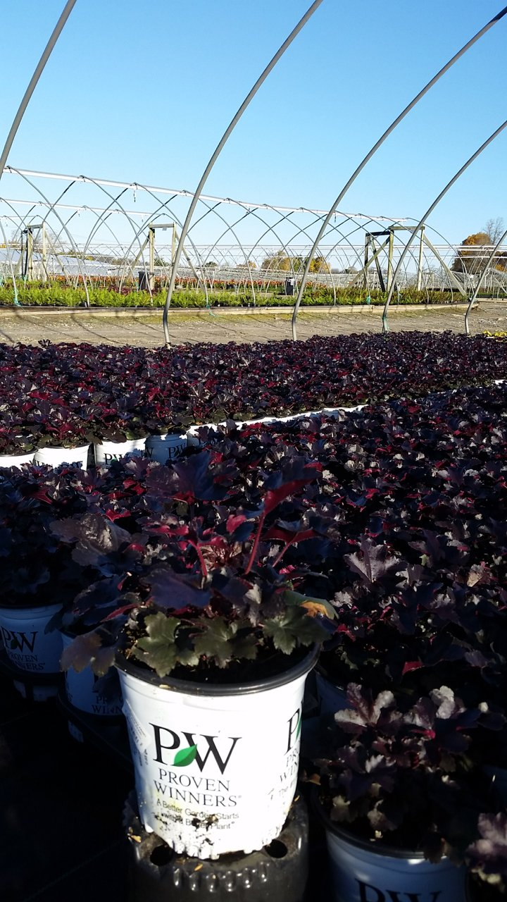 Heuchera Primo™ 'Black Pearl' - #1 Crop Shot for 2017-44
