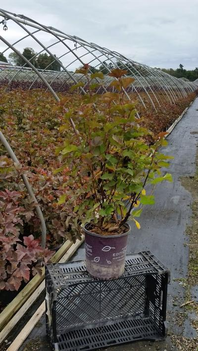Physocarpus opulifolius 'Amber Jubilee™' - 2 Gal. Crop Shot for 2019-40