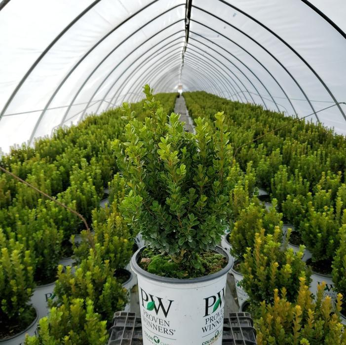 Buxus microphylla Sprinter®' - 2 Gal. Crop Shot for 2020-47