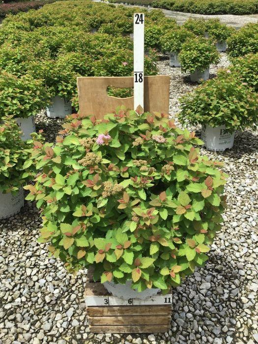 Spiraea japonica 'Double Play Big Bang' - 3 Gal. Crop Shot for 2020-30
