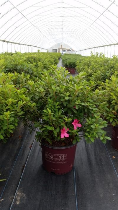 Rhododendron (Azalea) Encore® 'Autumn Sangria™' - 3 Gal. Crop Shot for 2019-42