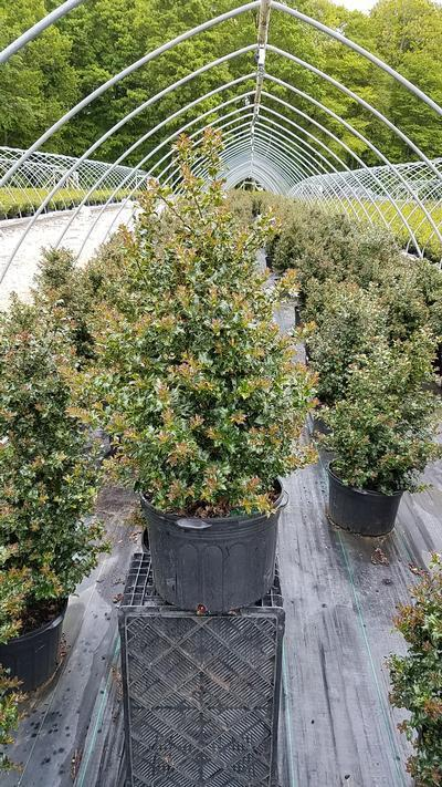 Ilex x rutzan 'Red Beauty' - 5 Gal. Crop Shot for 2019-20