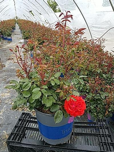 Rosa 'True Passion™ Rose' - 2 Gal. Crop Shot for 2020-21