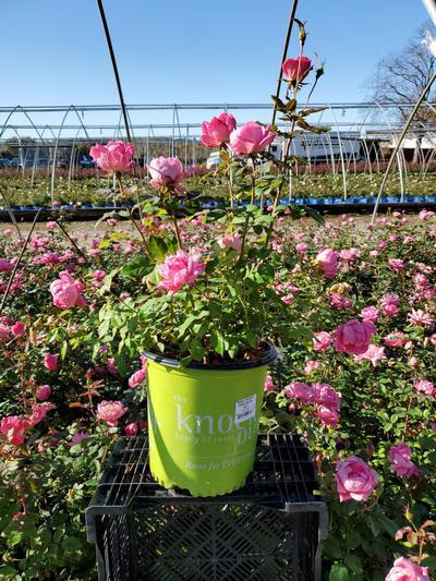 Rosa 'Double Pink Knockout' - 2 Gal. Crop Shot for 2020-41