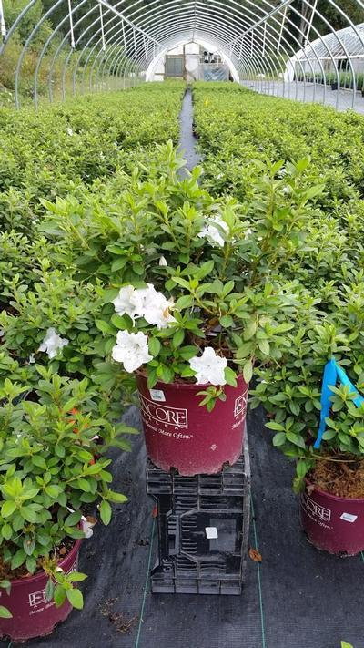 Rhododendron (Azalea) Encore® 'Autumn Lily™' - 3 Gal. Crop Shot for 2019-36