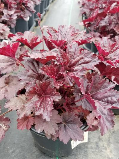 Heuchera villosa 'Black Sea' - 1 Gal. Crop Shot for 2020-18