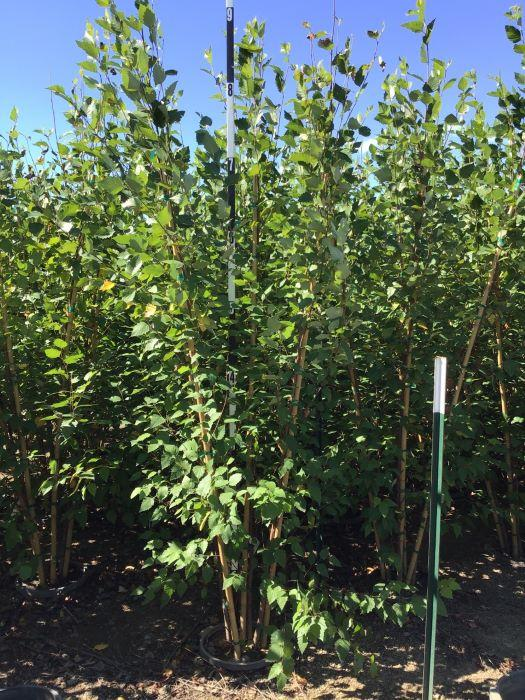 Betula nigra 'Cully' - 7 Gal. Multi Stem Crop Shot for 2020-38