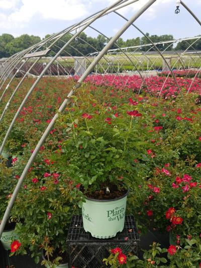Rosa Red Streamer - Climber NEW - 3 Gal. Crop Shot for 2020-30
