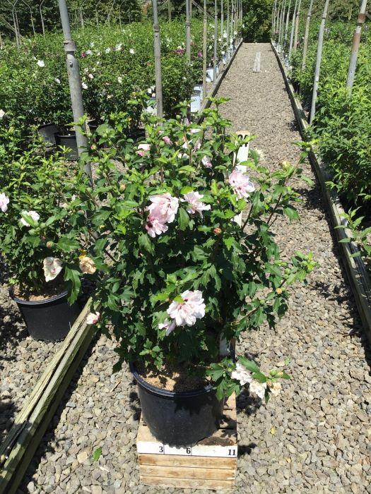 Hibiscus syriacus 'Blushing Bride' - 3 Gal. Crop Shot for 2020-34