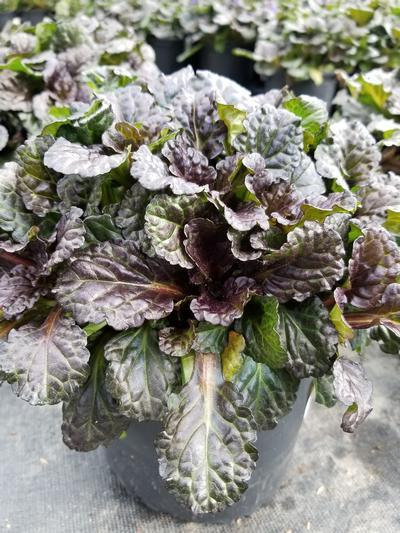 Ajuga reptans 'Black Scallop' - 1 Gal. Crop Shot for 2020-36