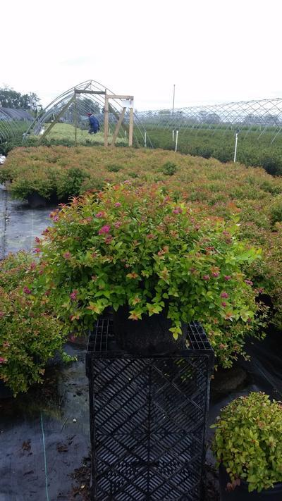 Spiraea japonica 'Magic Carpet' - 3 Gal. Crop Shot for 2019-36