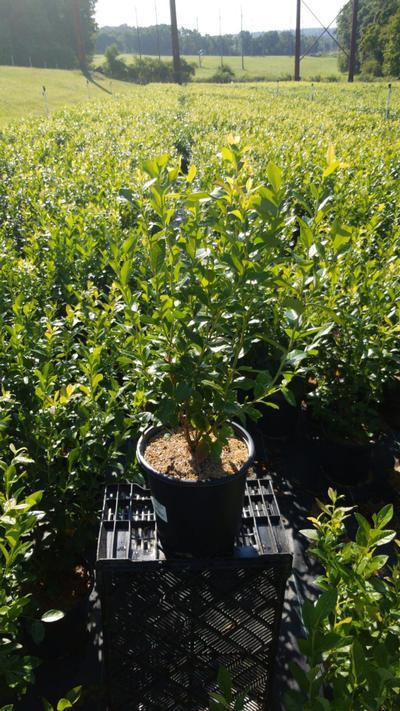 Vaccinium corymbosum 'Patriot' - 2 Gal. Crop Shot for 2020-36