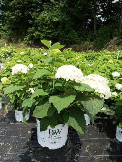 Hydrangea arborescens 'Incrediball®' - 3 Gal. Crop Shot for 2020-29