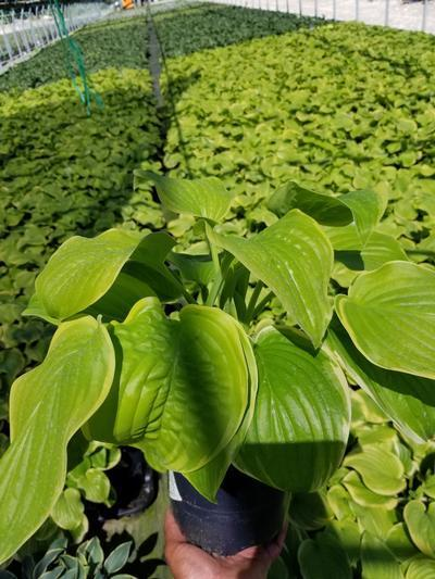 Hosta 'Fragrant Bouquet' - 1 Gal. Crop Shot for 2019-34