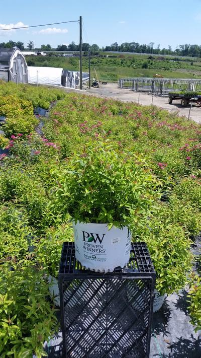Spiraea Double Play 'Painted Lady' - 3 Gal. Crop Shot for 2019-27