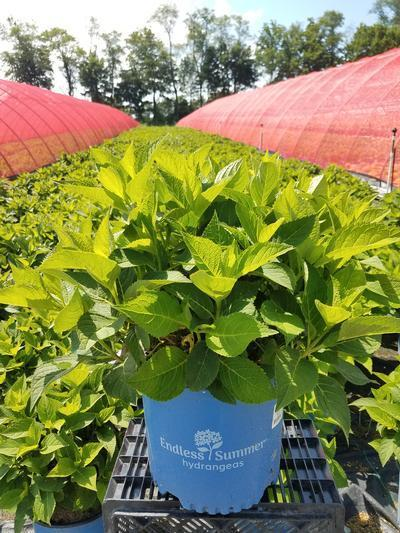Hydrangea macrophylla Endless Summer® 'The Original' - 3 Gal. Crop Shot for 2019-29