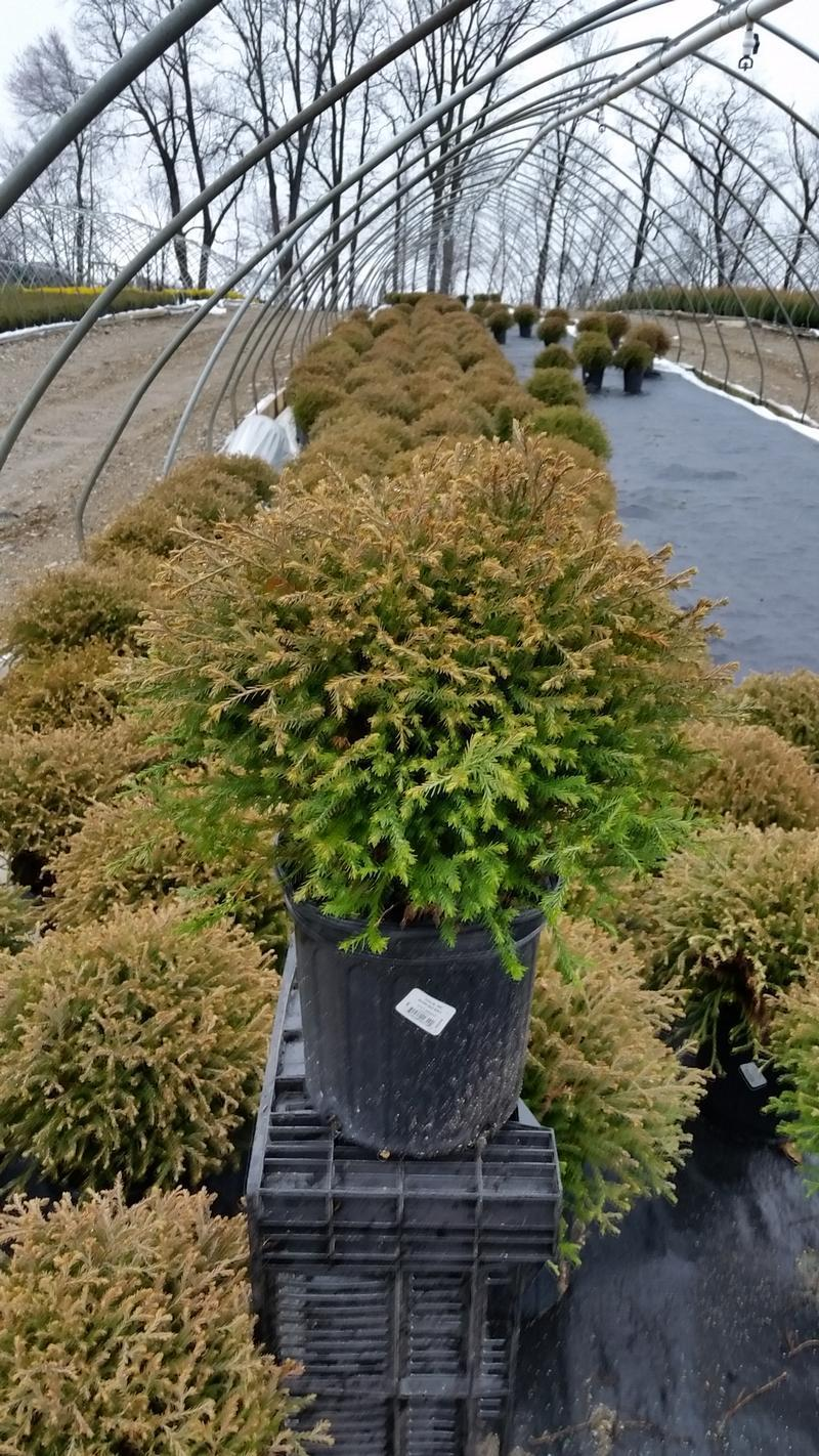 Thuja occidentalis 'Mr. Bowling Ball' - 2 Gal. Crop Shot for 2019-14