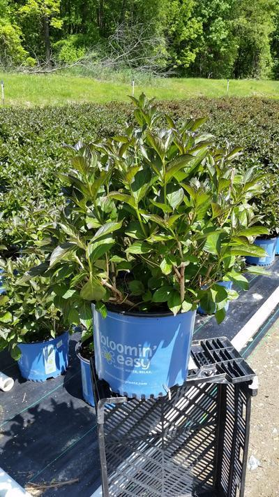 Weigela x 'Tuxedo' - 3 Gal. Crop Shot for 2019-20